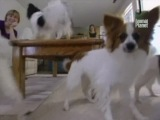 Animal planet: Все о собаках 1BBC.RU (23. Папильон)